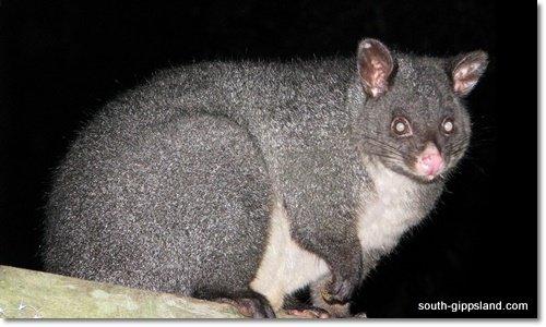 brush-tailed-possum