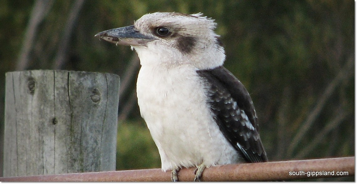 laughing kookaburra sitting on clothes line