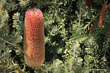 narkabundah-native-plant-nursery (44)