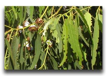 native gum trees at Agnes Falls Victoria