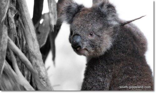 young-Koala-south-gippsland