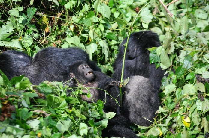 The best places to go mountain Gorilla trekking in Africa