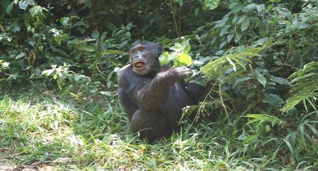 Uganda chimpanzee tracking experience