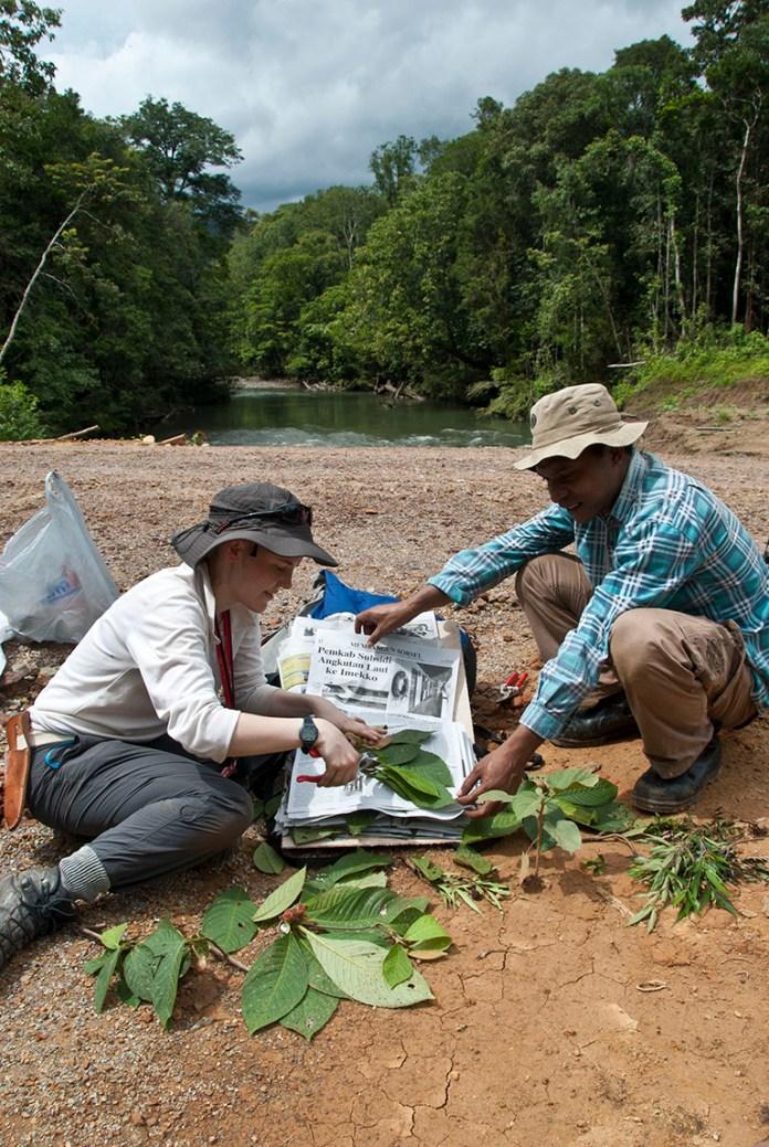 Marie Briggs (RBG Kew) and Victor Simbiak (Universitas Negeri Papua, Indonesia) preparing plant specimens in Tamrau Mountains, West Papua. Credit RBG Kew.