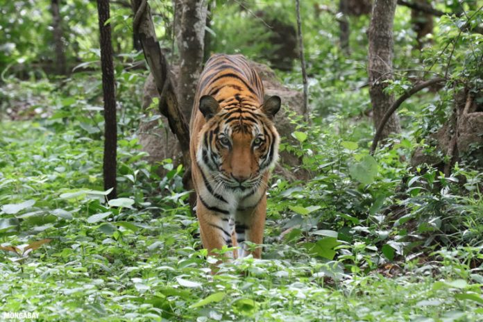 Tigers are under pressure for the wildlife trade. Photo by Rhett A. Butler.
