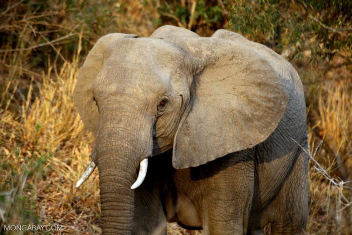 Wild elephant in South Africa. Photo credit: Rhett A. Butler