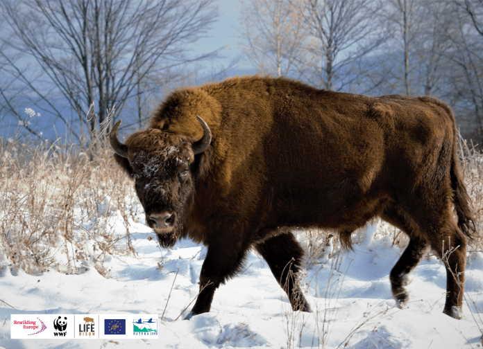 The European Bison is No Longer a Vulnerable Species