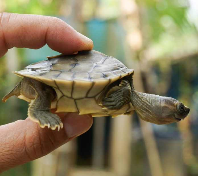 The sharp rearward pointing spines on the bony ridge of the Burmese roofed turtle's shell become blunt by age three and disappear by age four. Photo by Myo Min Win (Platt et al 2020).