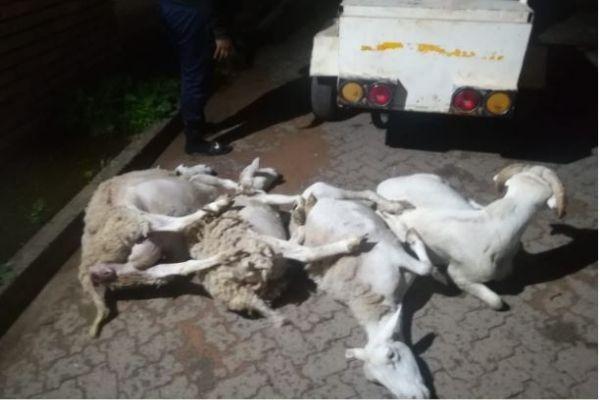 Upington stock thieves nabbed in Olifantshoek. Photo: SAPS