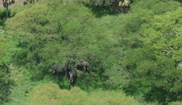 Elephants hidden by dense green forest cover. Image by Richard Lamprey/Fauna & Flora International
