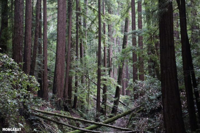 Redwood forest in Huddart County Park in California. Photo by Rhett A. Butler