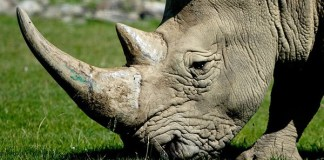 Dealing in rhino horns worth R2.4 million: 2 Suspects arrested, Vryburg