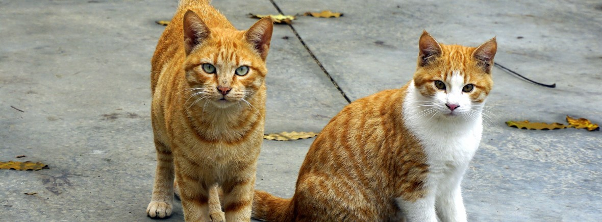 Two orange cats hang out on a sidewalk.