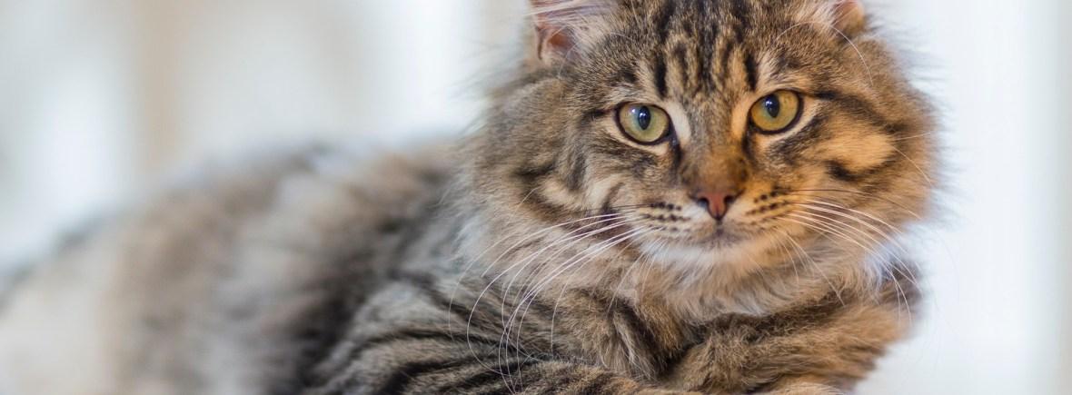 A healthy cat awaits a veterinary checkup.