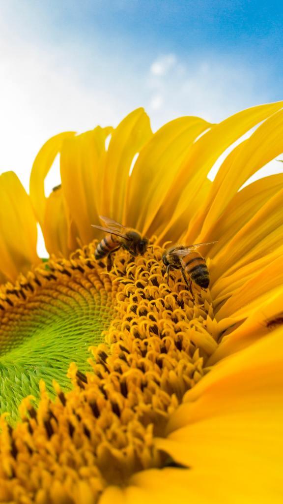 two honey bees on sunflower center