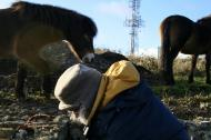 Exmoor ponies visiting dig site; 27th January 2014