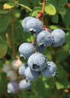 blue-suede-berries-ga-faces