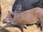 wild feral hogs