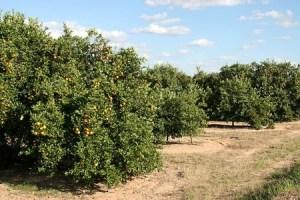 citrus production