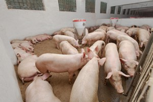 hog prices