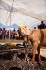 Haiti Field Visit by Heifer International
