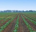 Cotton field increase