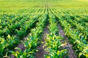 corn prices ethanol production