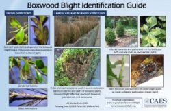 Boxwood Blight Identification Guide