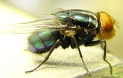 New World Screwworm (Cochliomyia hominivorax)