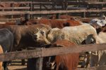 beef cattle auction-5