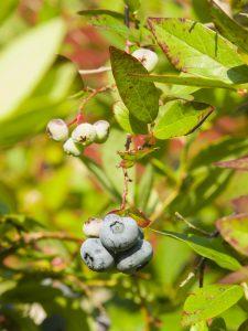 highbush-blueberry-vaccinium-corymbosum-3