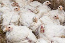 broiler hatchery eggs