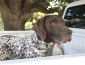 german-short-haired-pointer-dog-in pickup trucks
