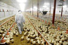 low path avian influenza