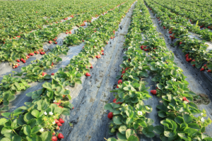 strawberryfield_shutterstocklzf-494x330