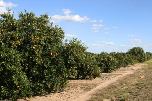 citrus crop forecast