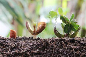 peanut germination