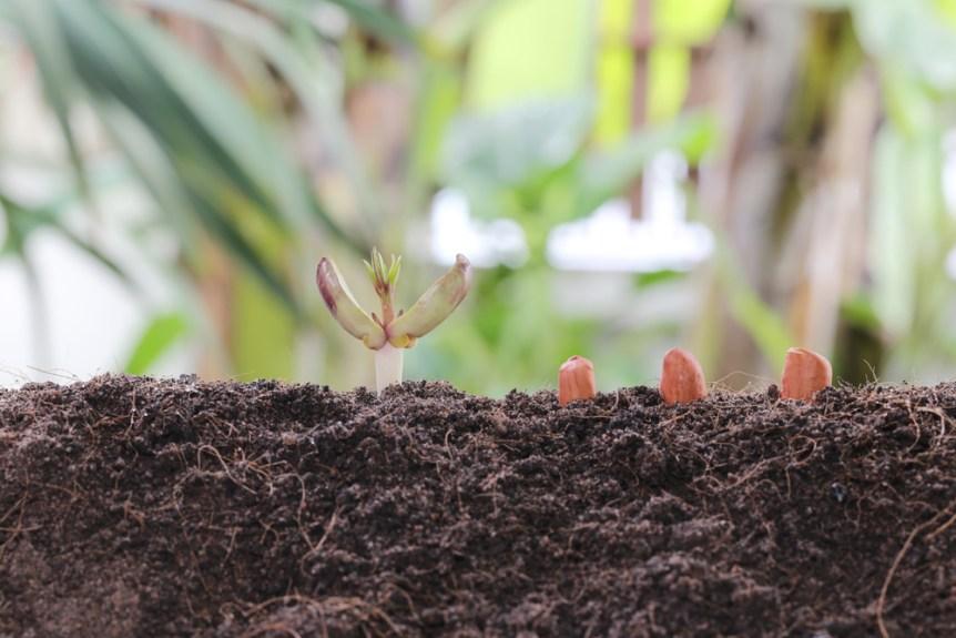 wet soil peanut planting