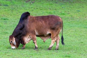 Brahman Cattle grazing on green pasture at rural farmland in Oregon