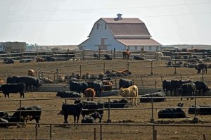 cattle feed report