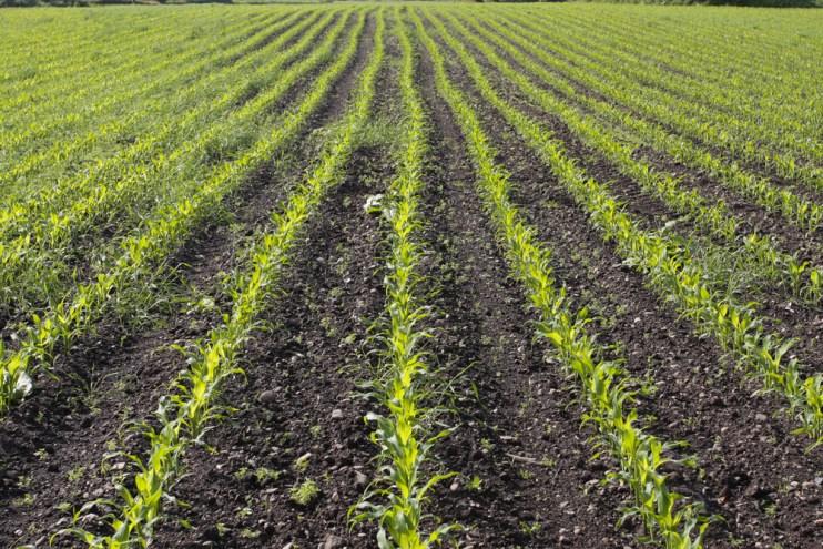 less corn