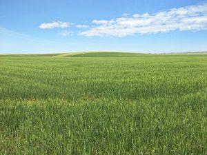 soft durum wheat