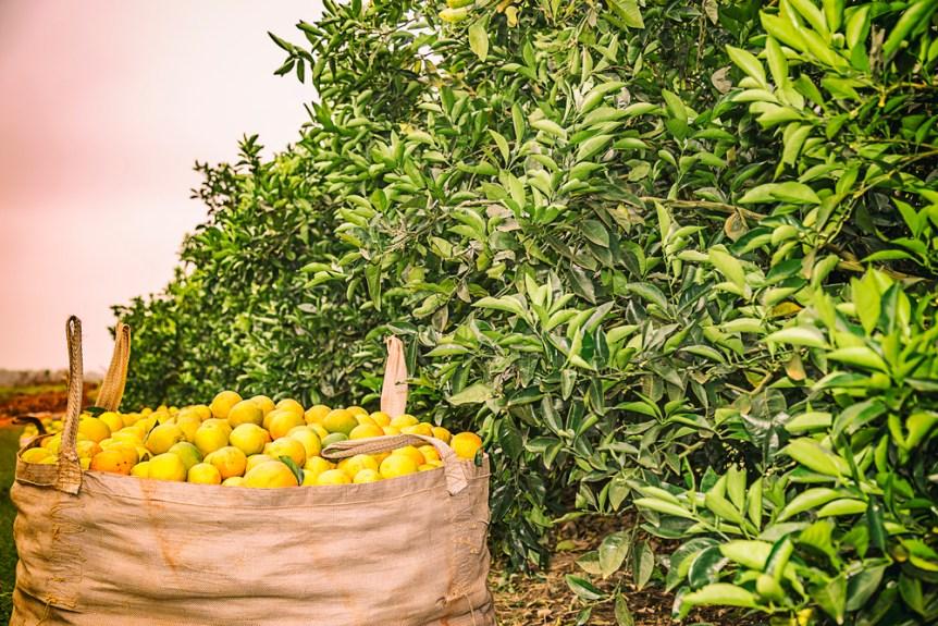 orange crop