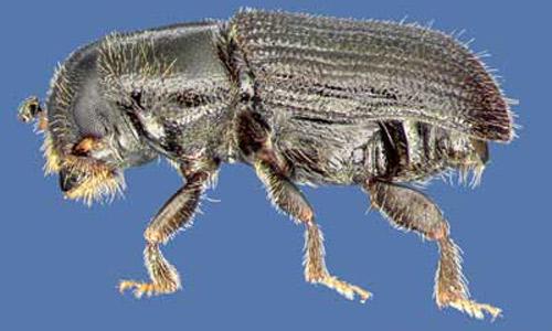 pine beetle