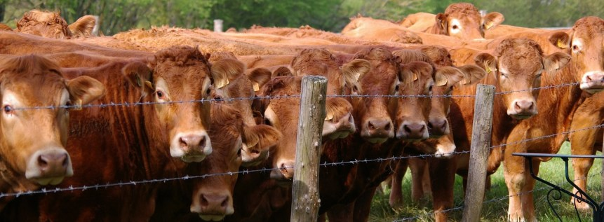 cattle prices