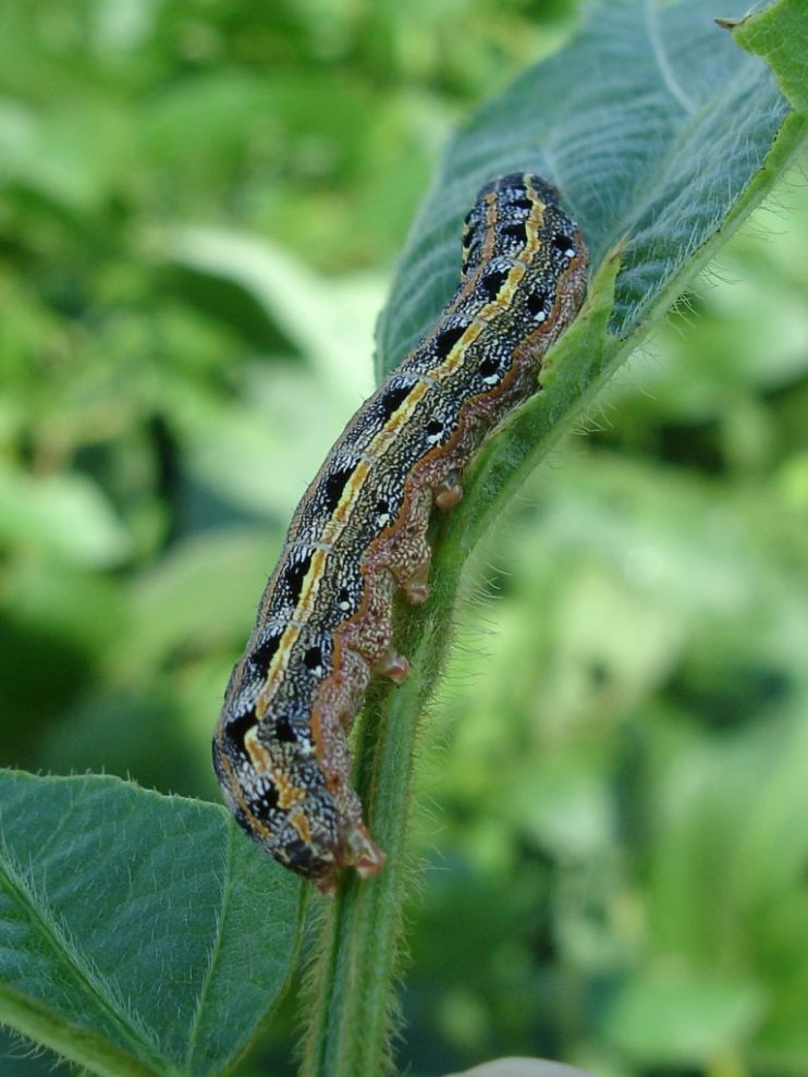 fall armyworms