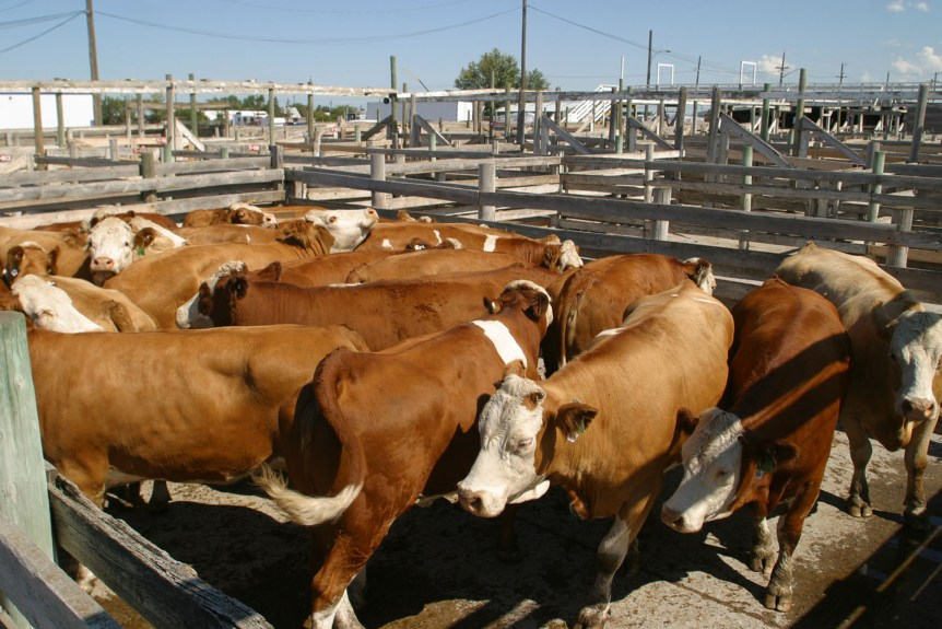 weekly livestock cattle