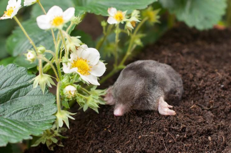 garden moles