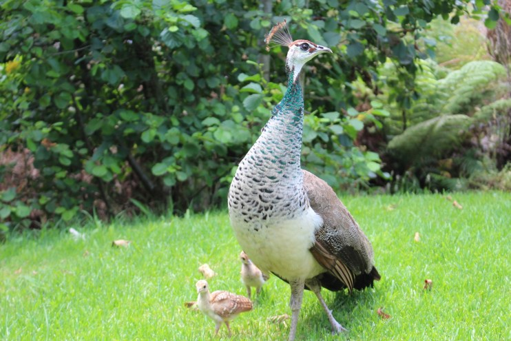raising peafowl
