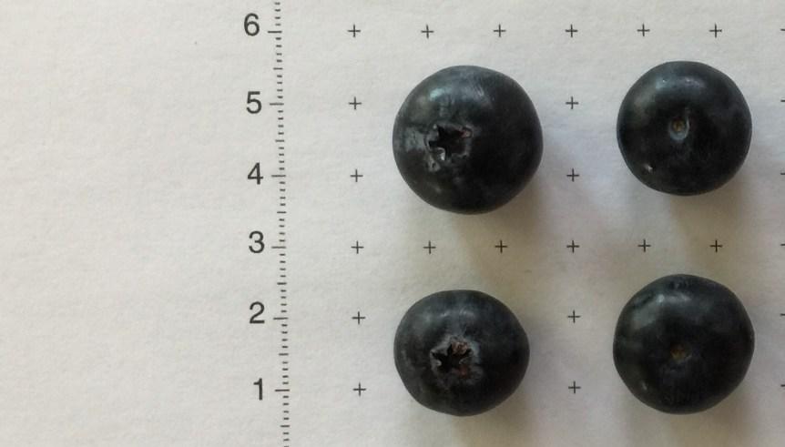 blueberry variety